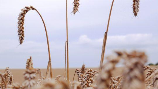 Quels sont les Familles des Céréales?