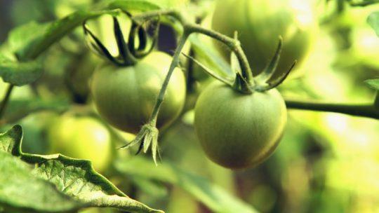 Que faire avec des tomates vertes recettes ?