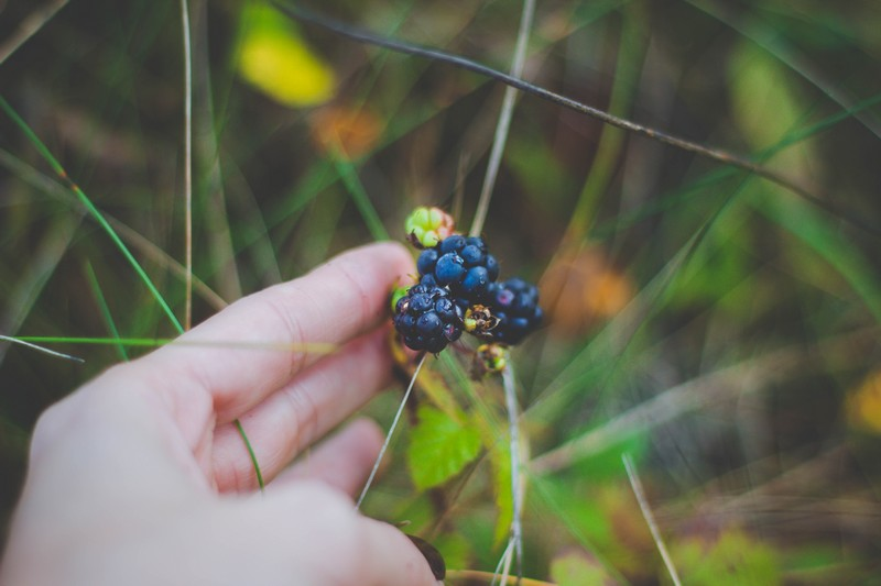Arbuste et baie sauvage comestible